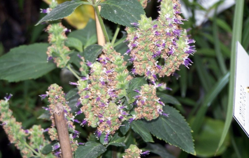 Patchouli essential oil For Healing Scars