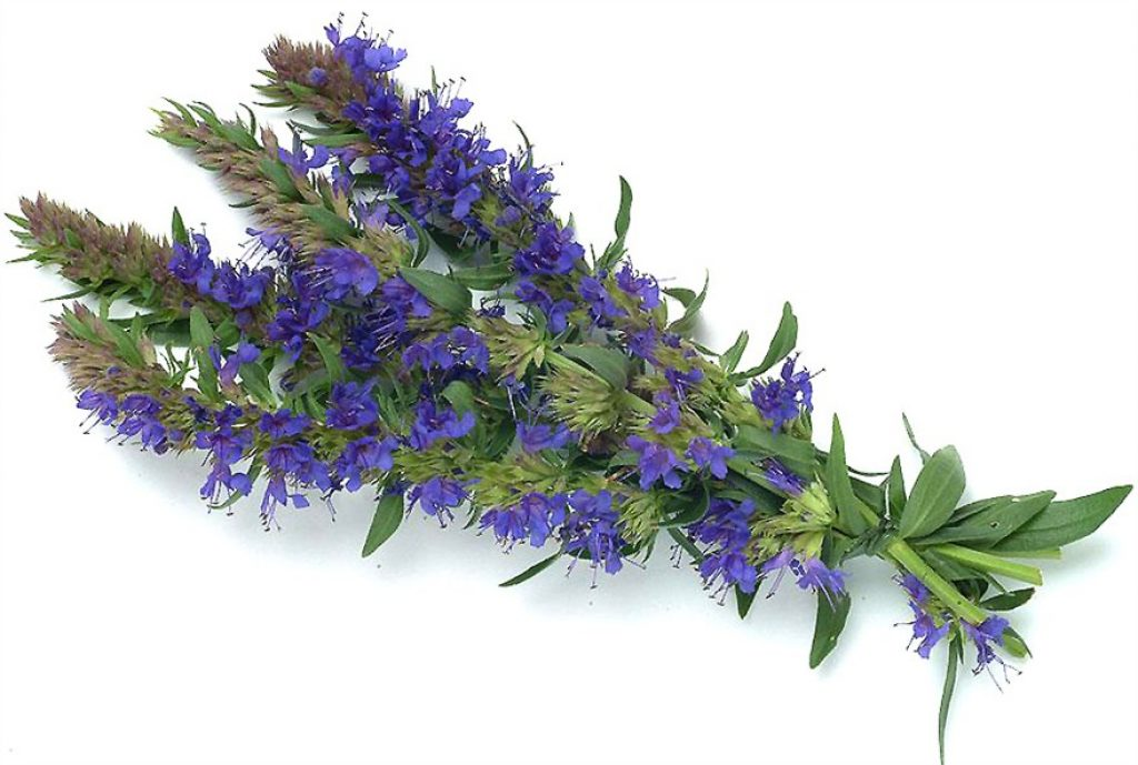 Hyssop essential oil For Healing Scars