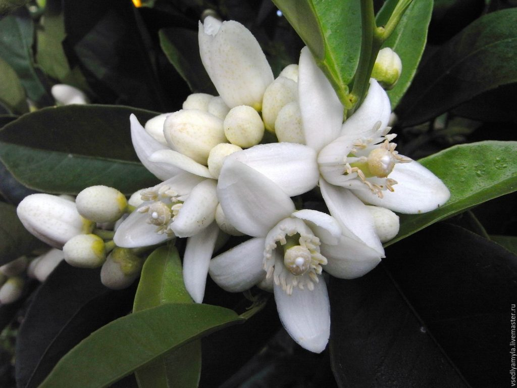 Neroli essential oil For Healing Scars