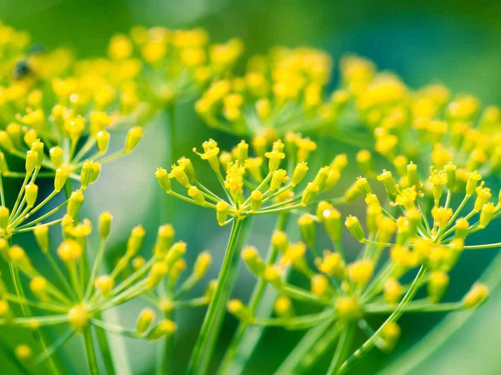 Fennel essential oil for gout
