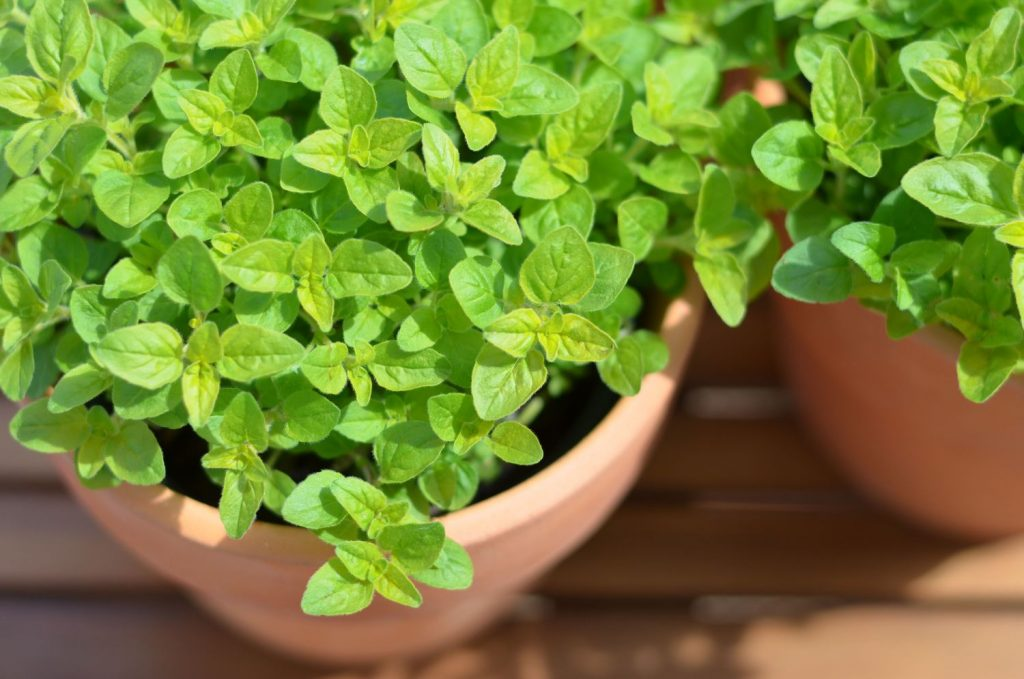 Marjoram essential oil for fibromyalgia