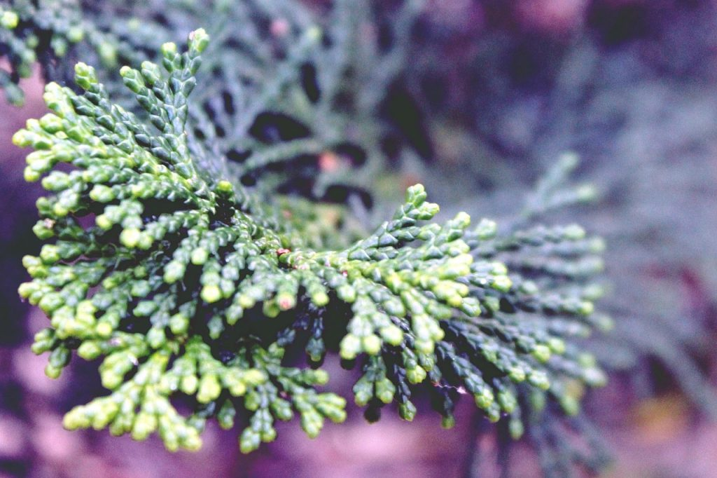Cypress essential oil for fibromyalgia