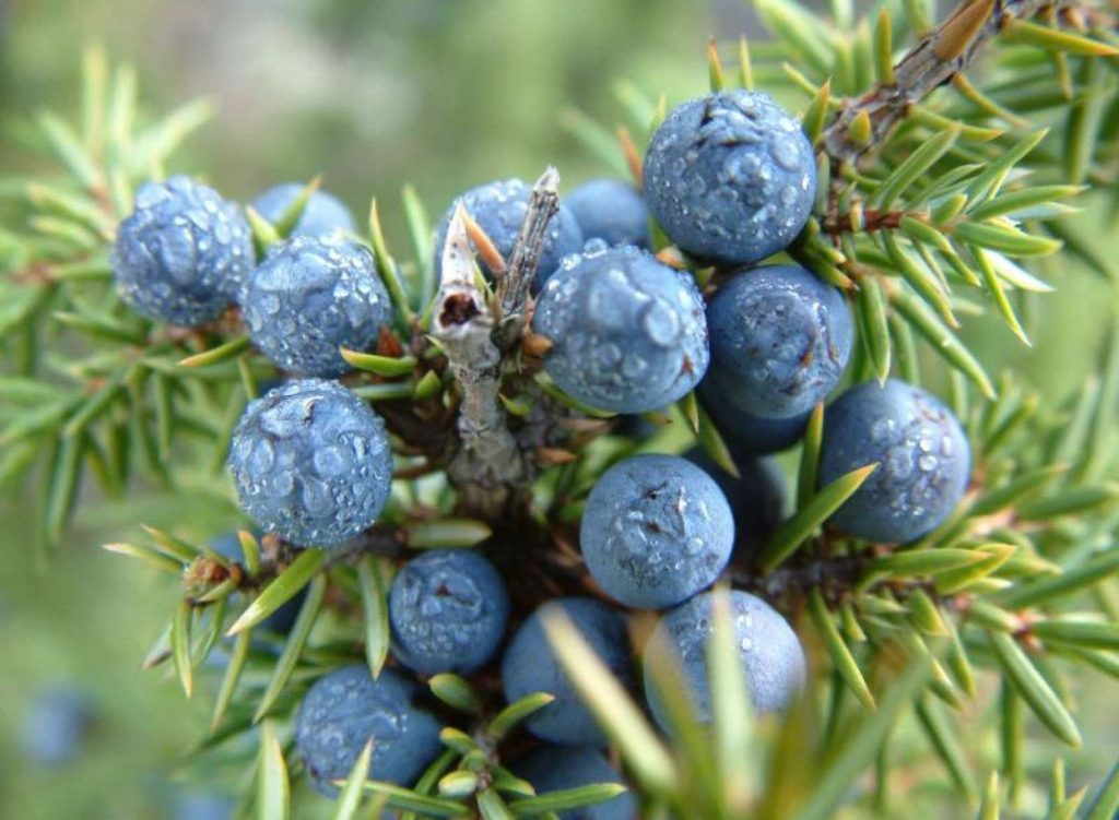 Juniper essential oil For Healing Scars
