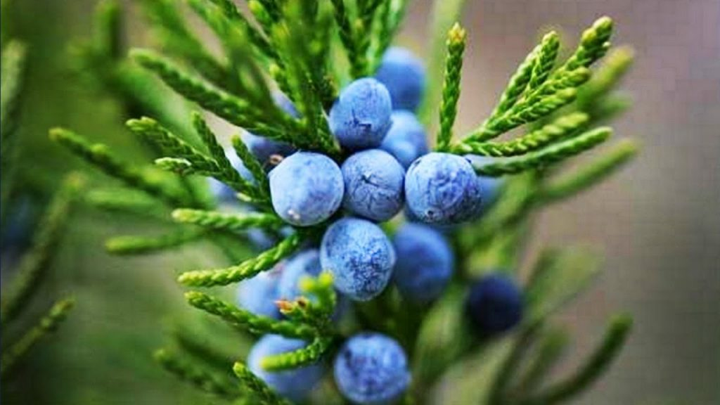 Juniper berry essential oil for acne