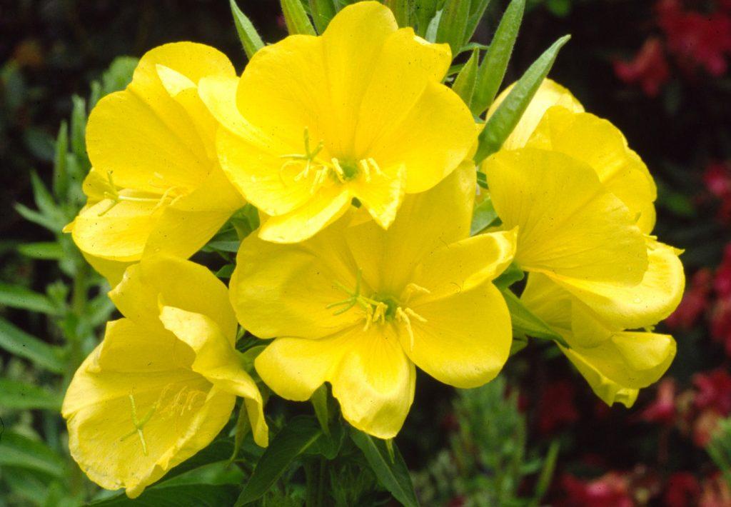 Primrose essential oil for rosacea