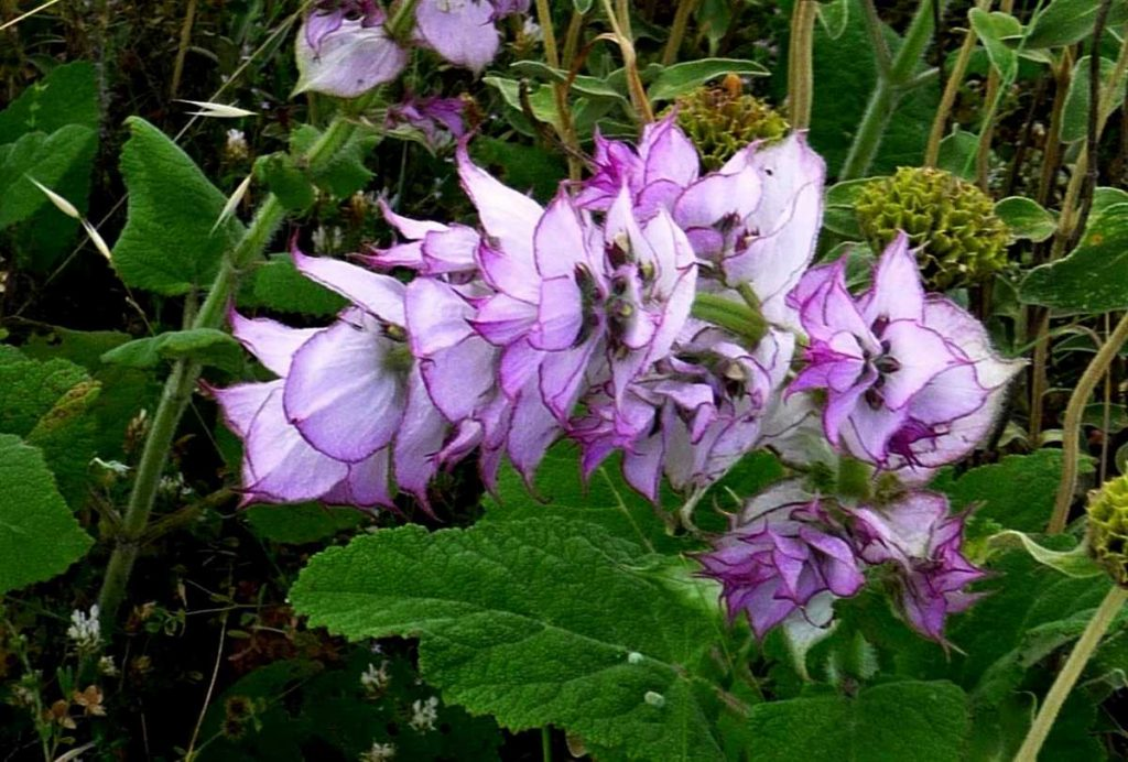 Clary Sage essential oil for acne