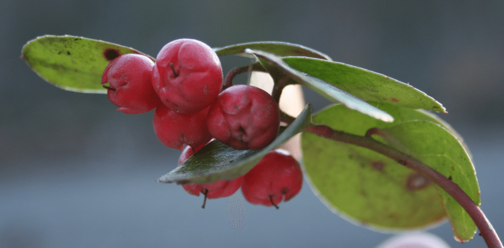 Wintergreen essential oil for gout
