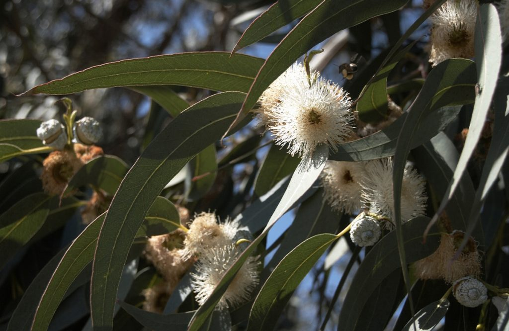 Eucalyptus essential oil for fibromyalgia