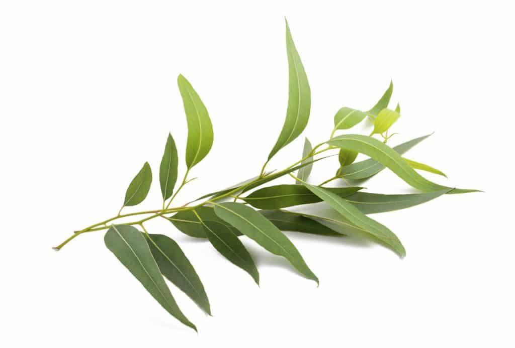 Eucalyptus oil for cold sores