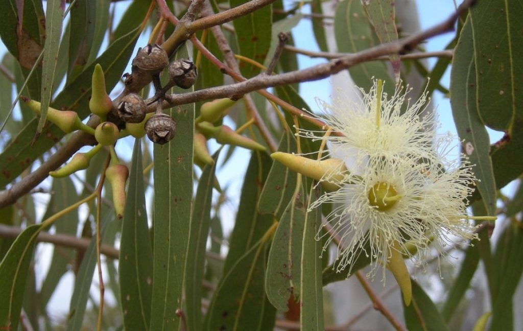 Eucalyptus Essential Oil for Back Pain