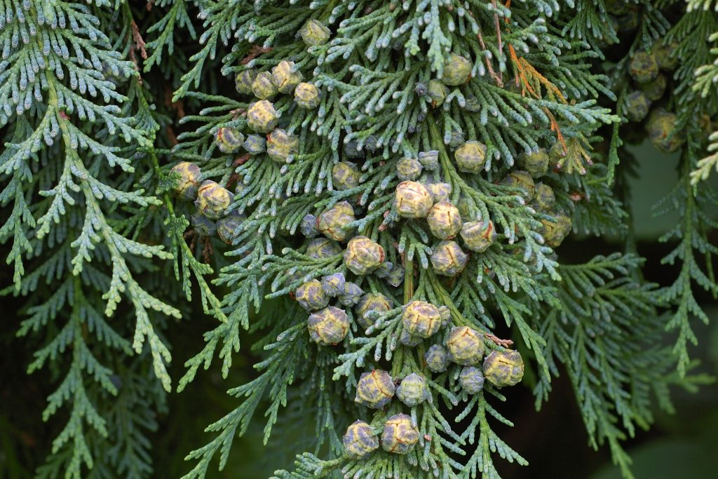 Cypress essential oil for weight loss