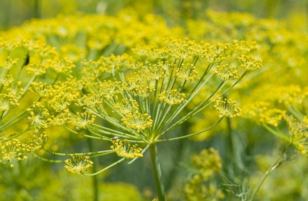 Fennel essential oil for cellulite