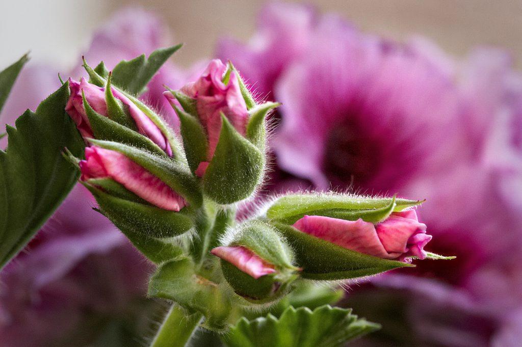 Geranium essential oil for menstrual cramps