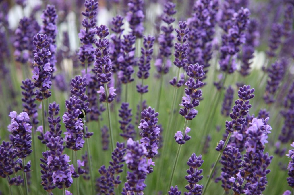 Lavender essential oil for energy