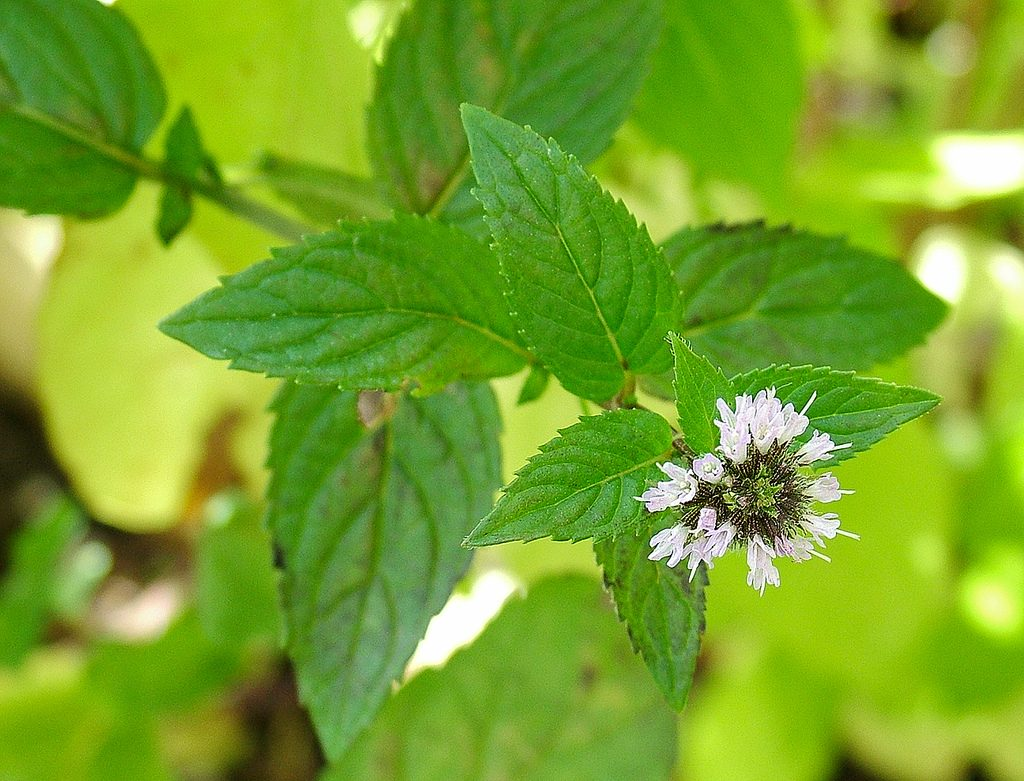 Peppermint essential oil for constipation