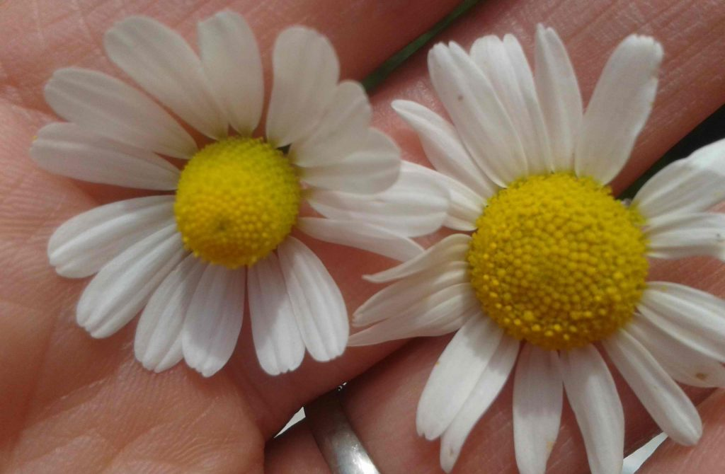 Roman chamomile essential for menopause oil