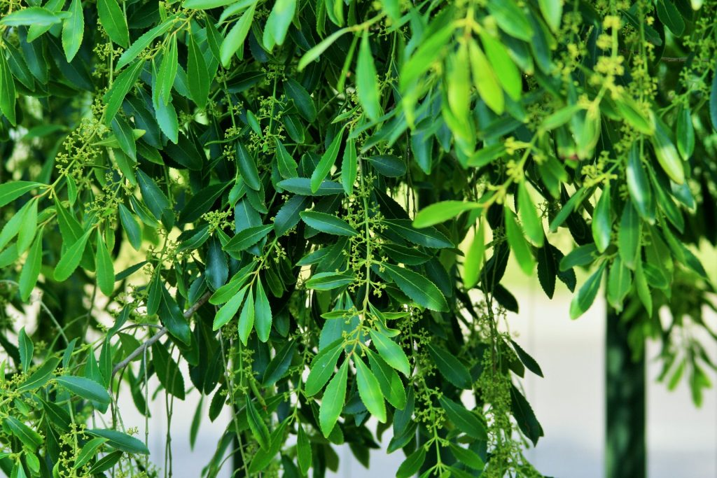 Tea Tree essential oil for Itchy skin
