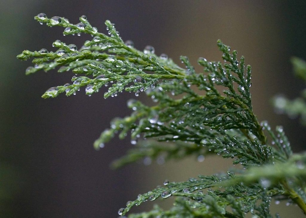 Cypress essential oil for cellulite