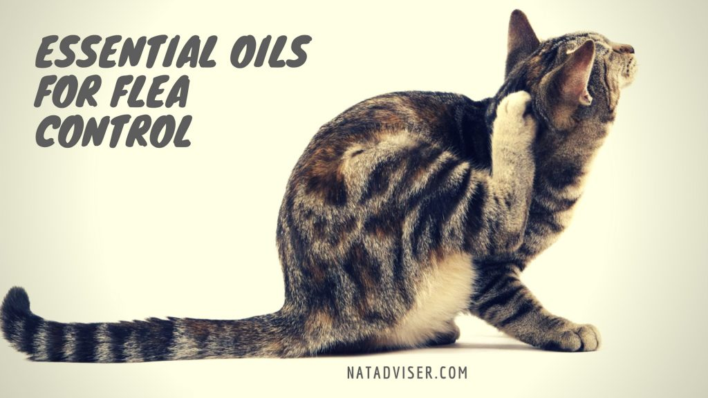Essential oils for flea control