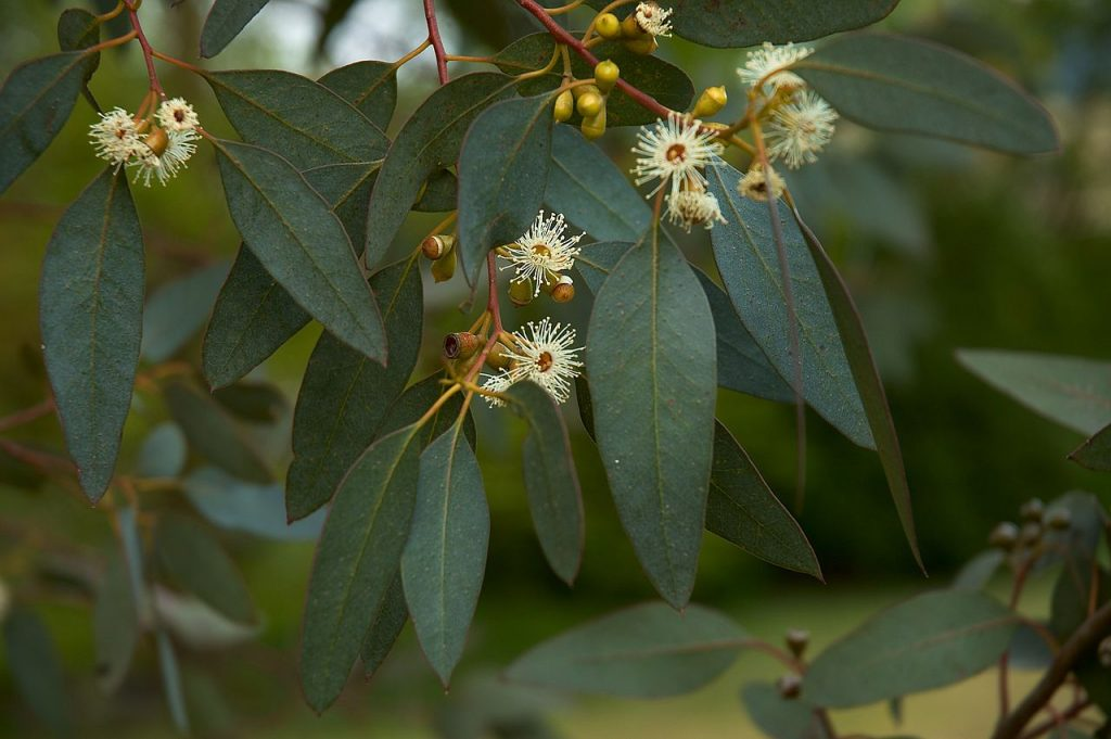 Eucalyptus Essential Oil for Shingles