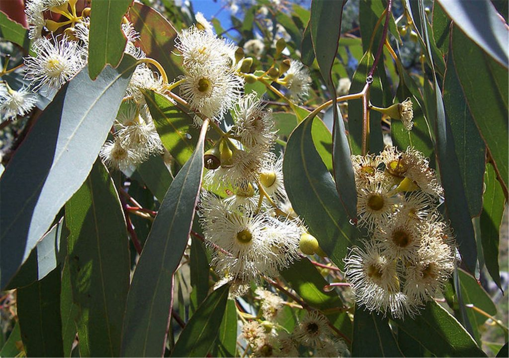 Eucalyptus Essential Oils for Snoring