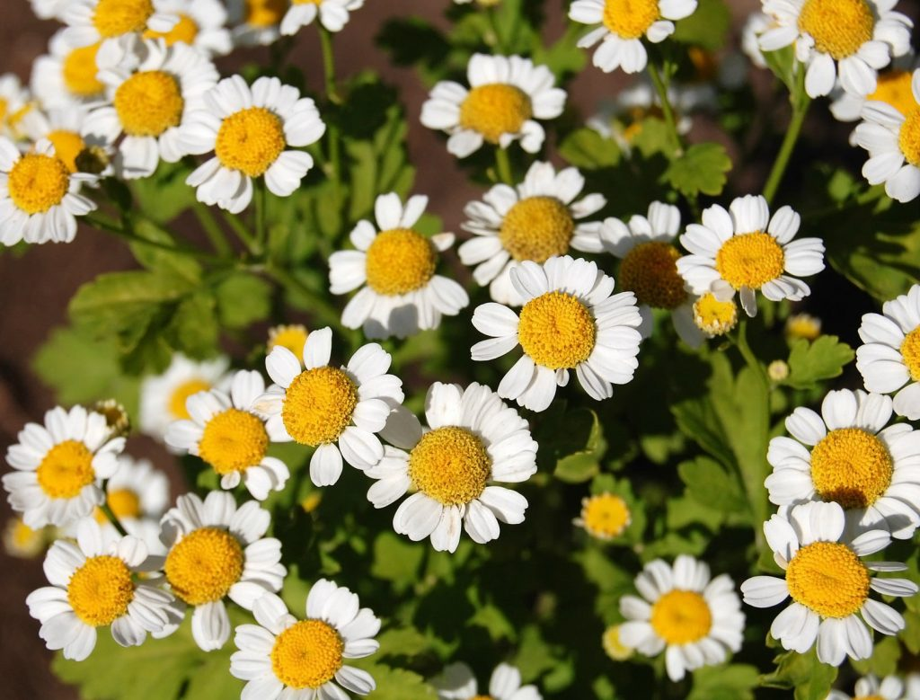 Chamomile essential oil For Arthritis