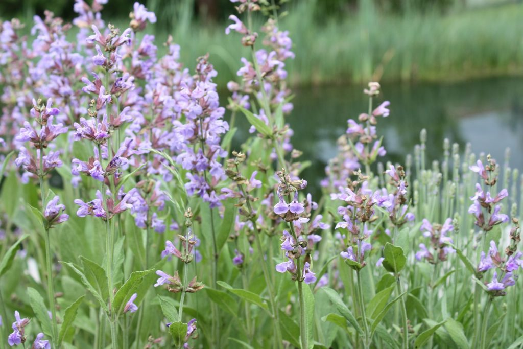 Clary Sage essential oil for Insomnia