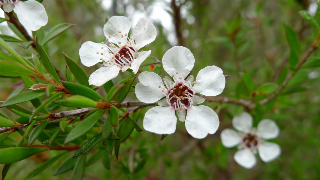 Tea Tree essential oil For Lungs