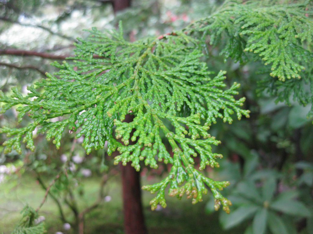History of cypress essential oils