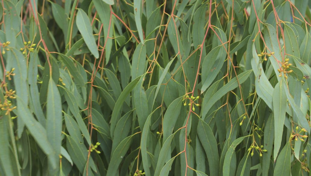 Eucalyptus essential oil for bronchitis