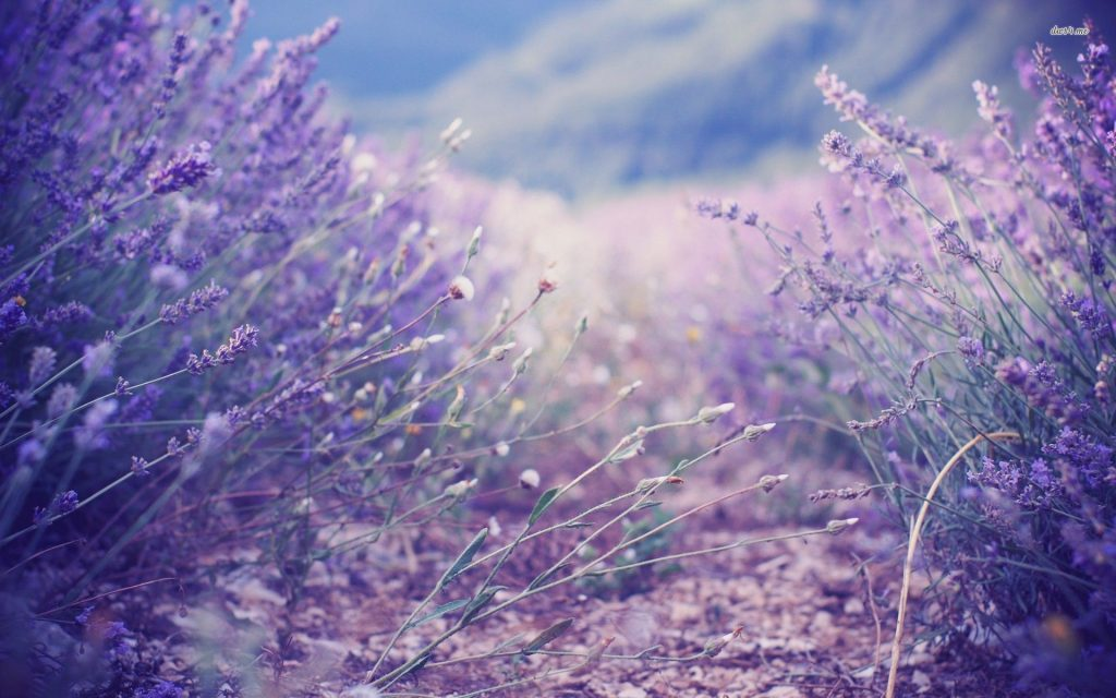 History of lavender essential oils