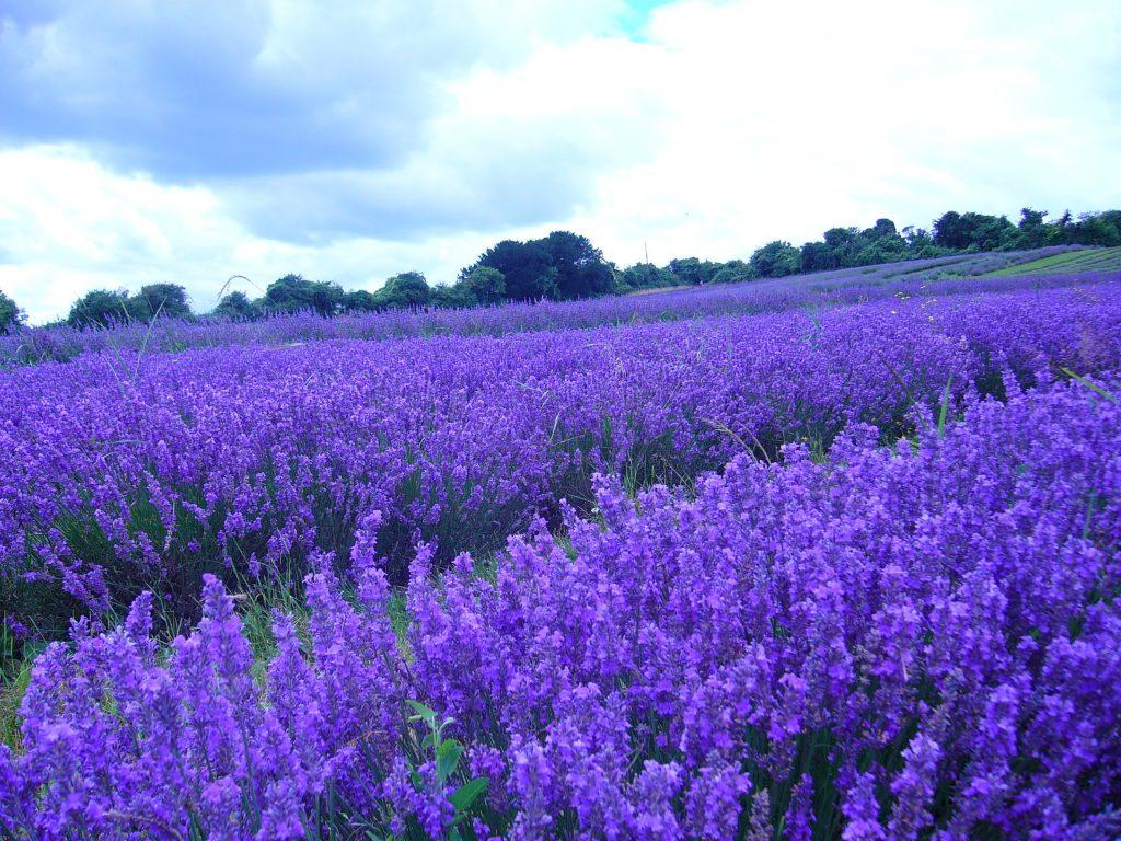 Lavender essential oil For Arthritis