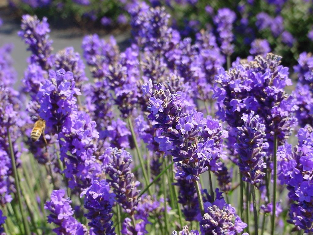 Lavender essential oil for depression and stress