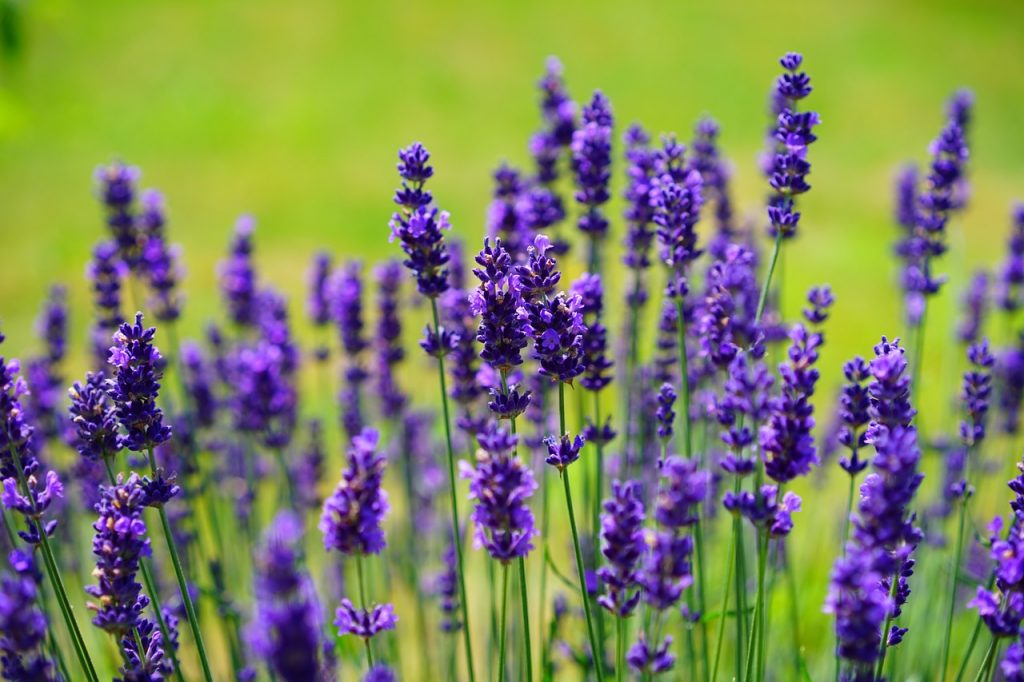 Lavender essential oil for toenail fungus