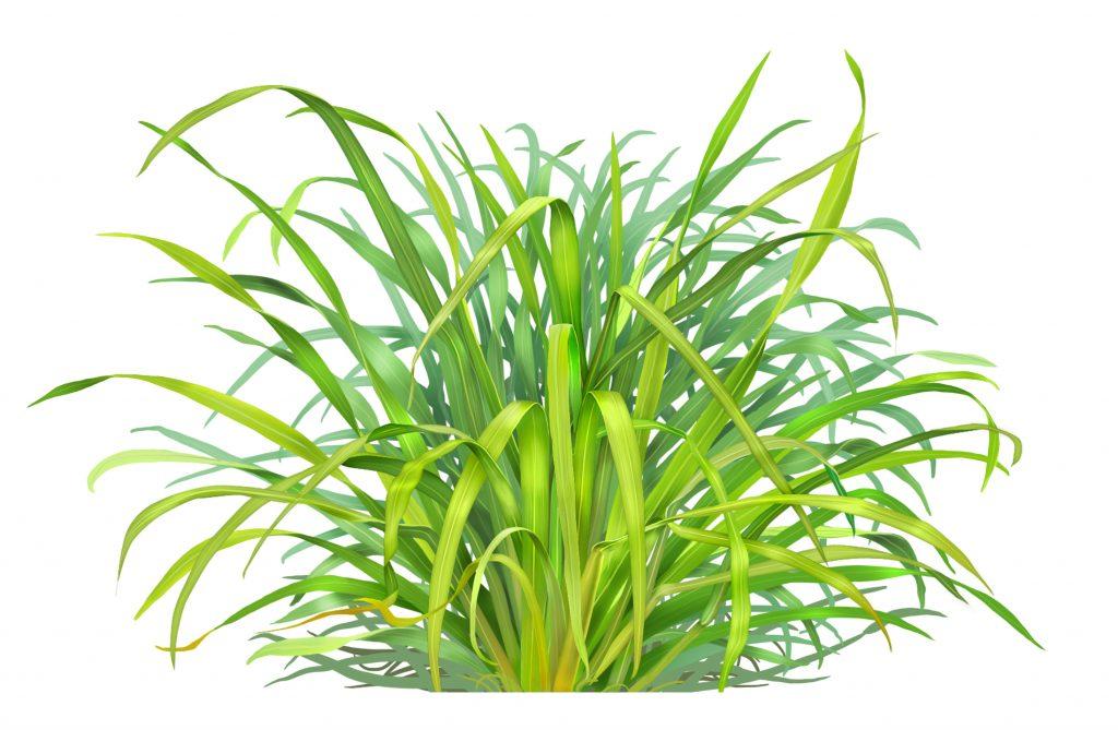 Lemongrass essential oil for ringworm
