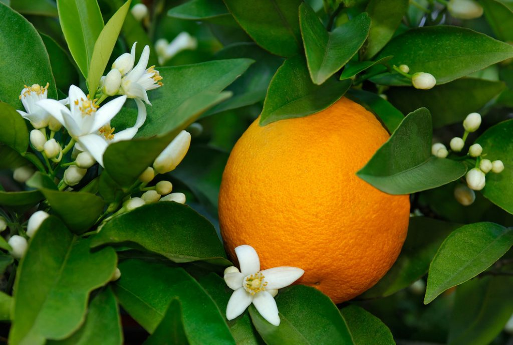 Orange essential oil for toenail fungus