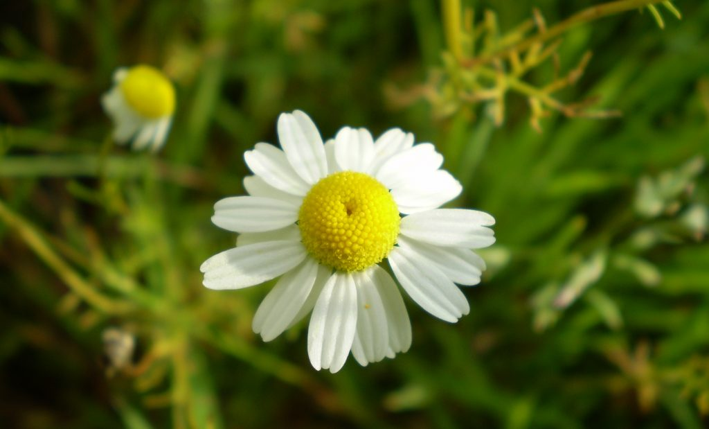 Roman chamomile essential oil for depression and stress