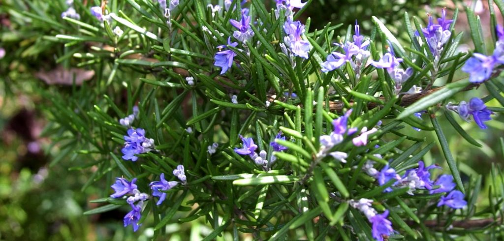 Rosemary essential oil For Arthritis