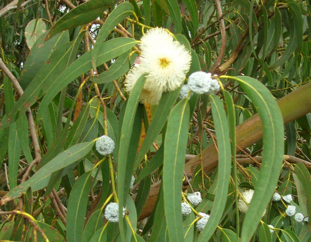 Eucalyptus essential oil for Shingles