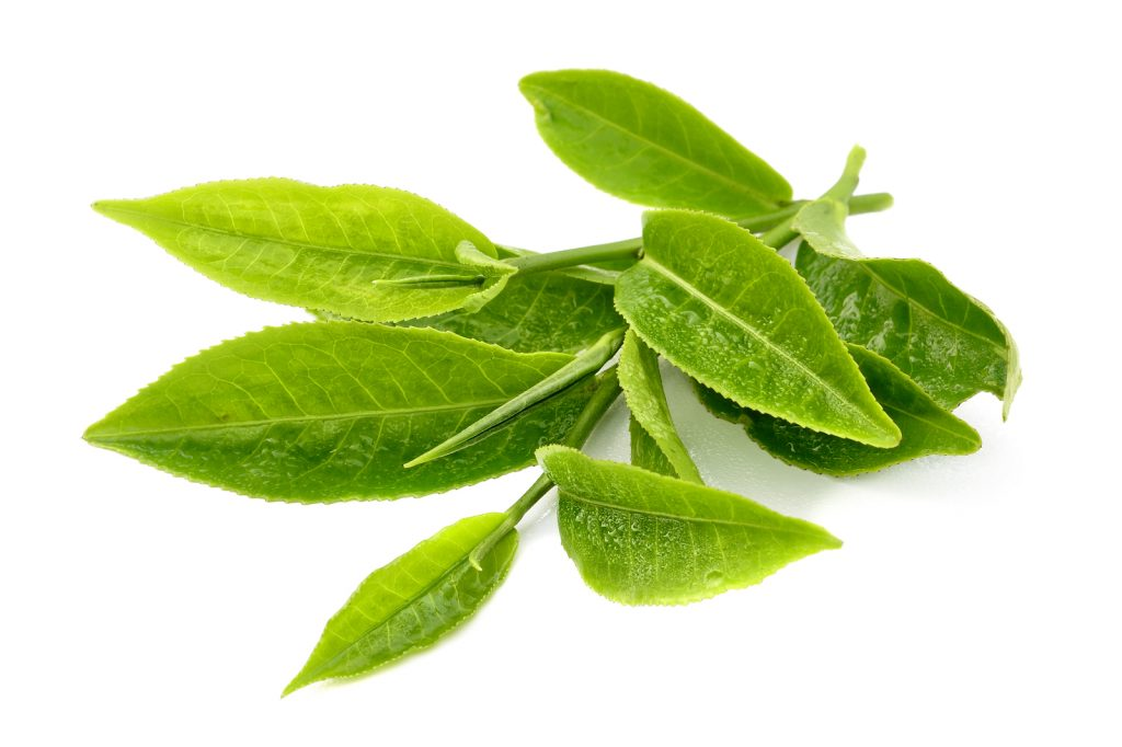 Tea tree essential oil for toenail fungus
