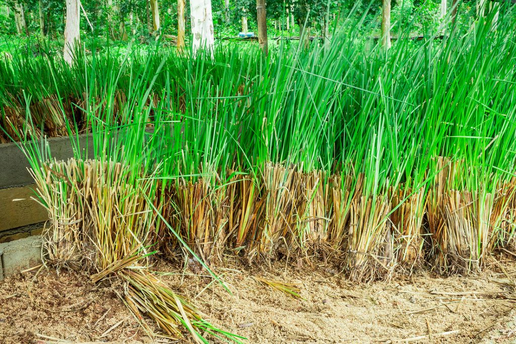 Vetiver essential oil for depression and stress