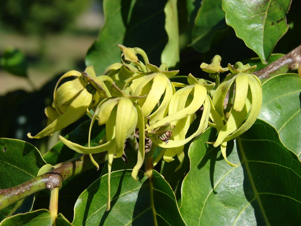 Ylang ylang essential oil for depression and stress