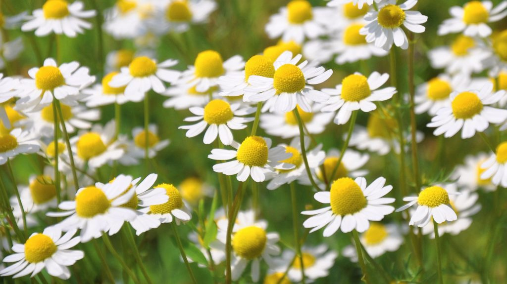Roman Chamomile Essential Oil for Shingles