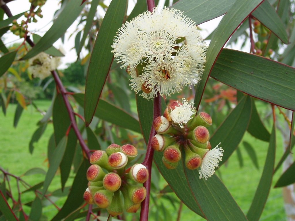 Eucalyptus Essential oil For Lungs