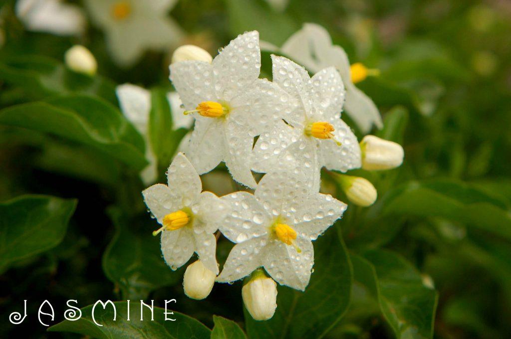 Jasmine essential oil for High Blood Pressure