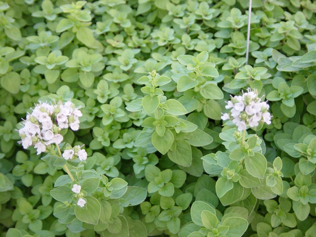 Marjoram essential oil For Lungs