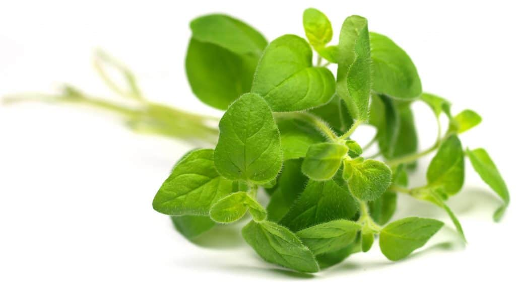 Oregano Essential Oil for Shingles
