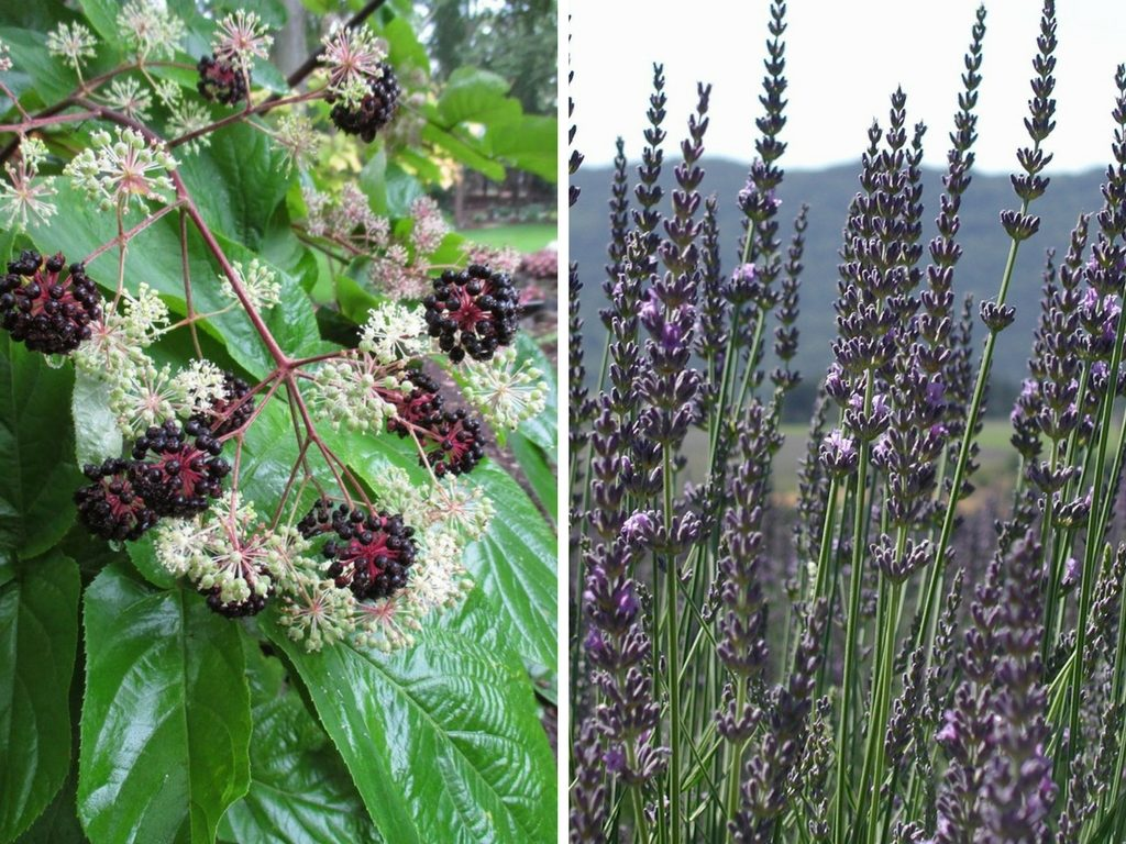 The Difference between Spikenard & Spike Lavender Essential Oils