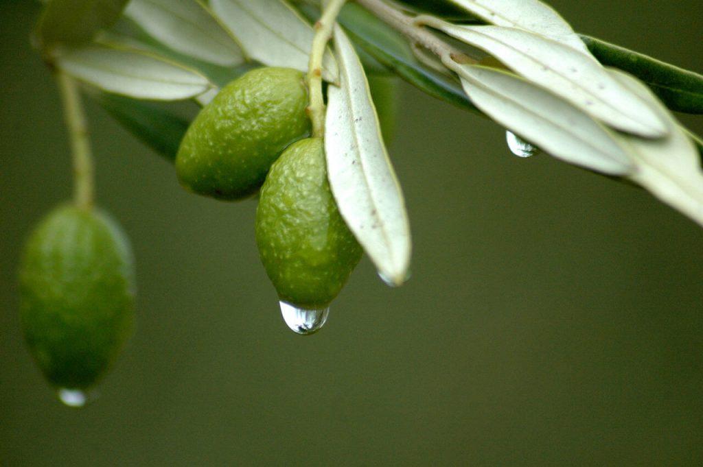 Olive leaf natural ringworm treatment