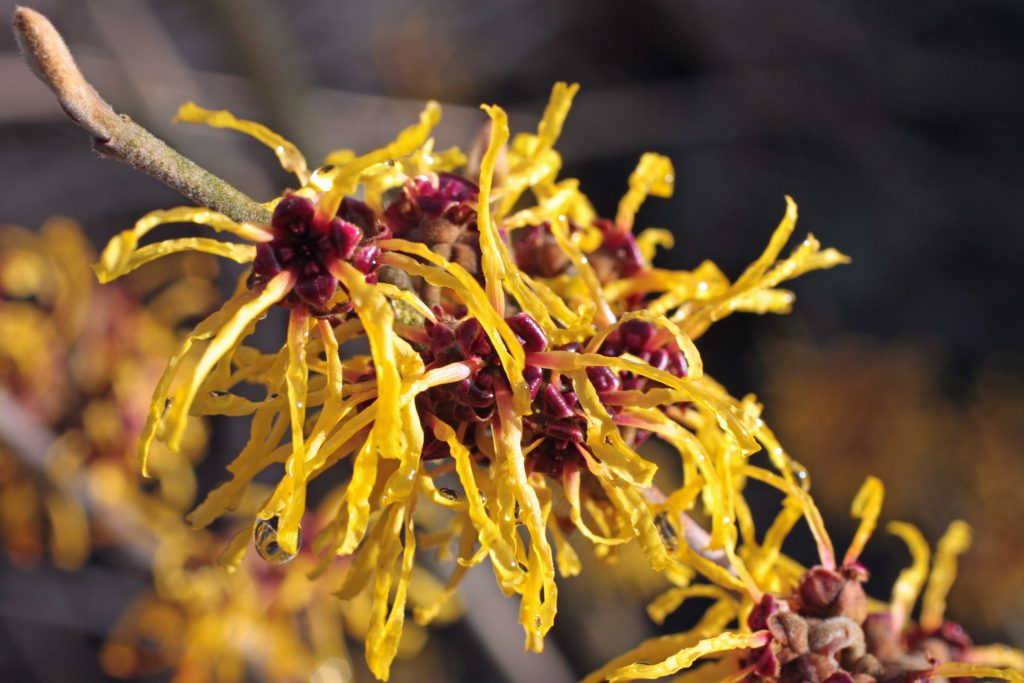Witch hazel as a home remedy for genital warts